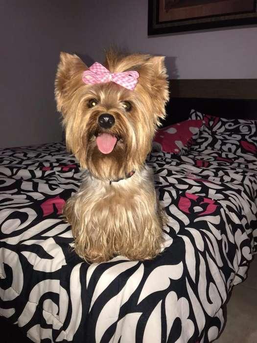 Hermosos cachorritos yorkshire <strong>terrier</strong> a la venta