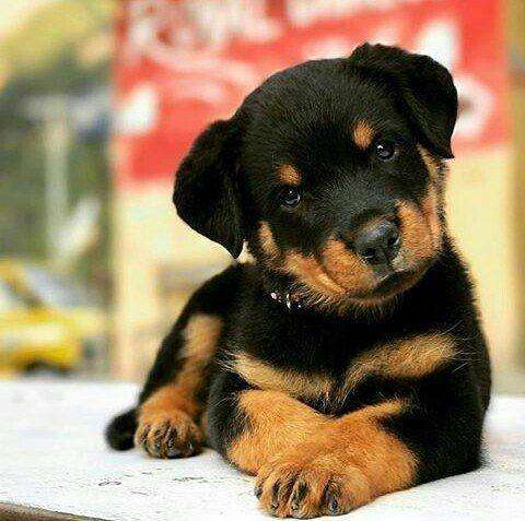 *PET SHOP VENDE <strong>rottweiler</strong> *