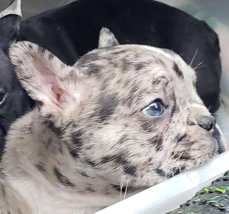 Bulldog Frances Black Merle hermoso ojos verdes