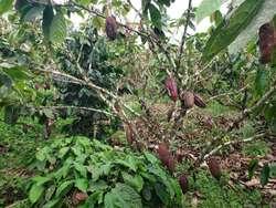 Venta de Finca 4 Has Cacao