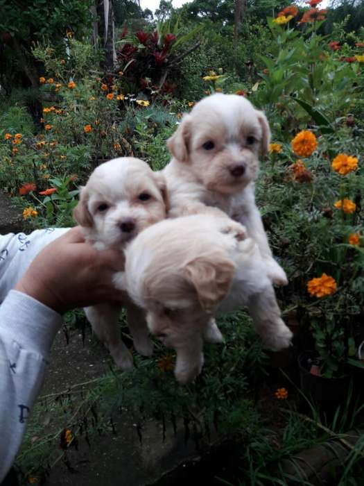 Ultimos French Poodle Mini Toy