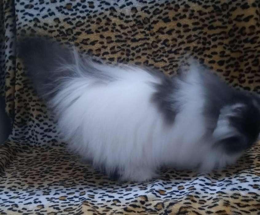 Gatita Persa <strong>pedigri</strong> TICA
