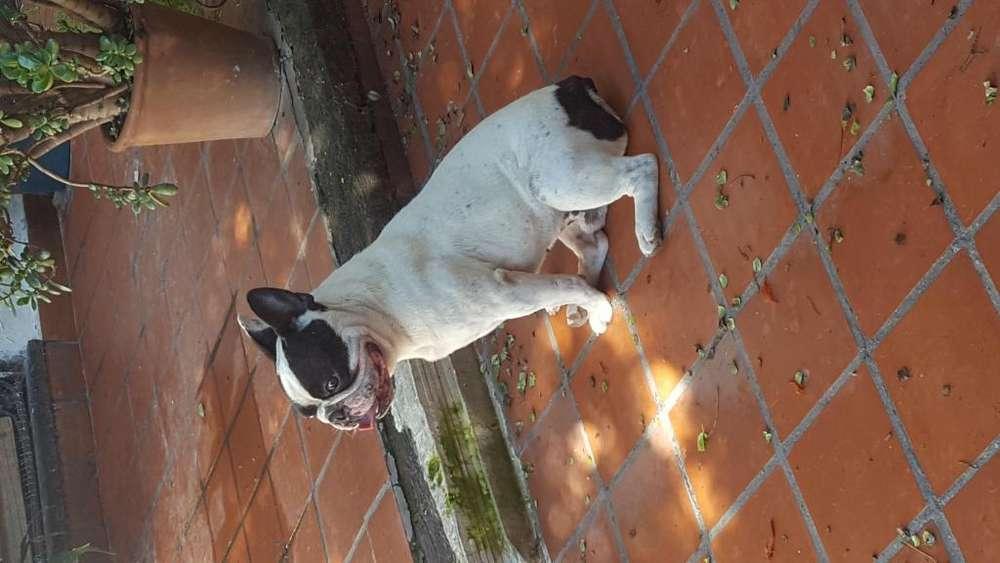bulldog frances busca novia