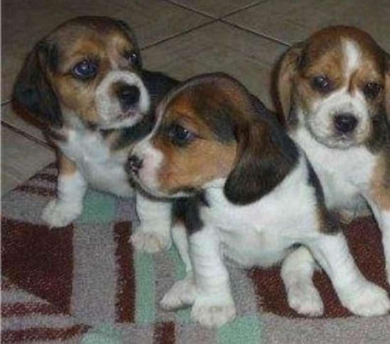 Cachorra Beagle Hembra