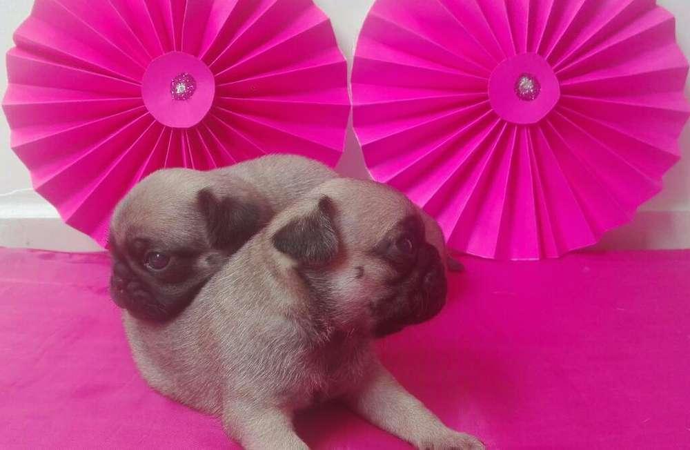 Hermosos <strong>cachorro</strong>s Pug Carlinos Patas Co