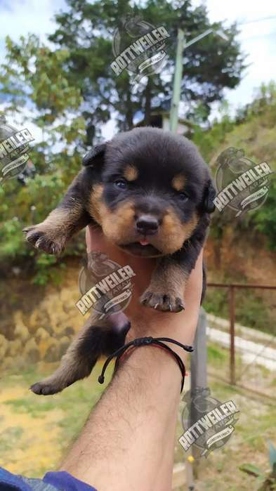 Cachorros <strong>rottweiler</strong> Padre con Pedigree
