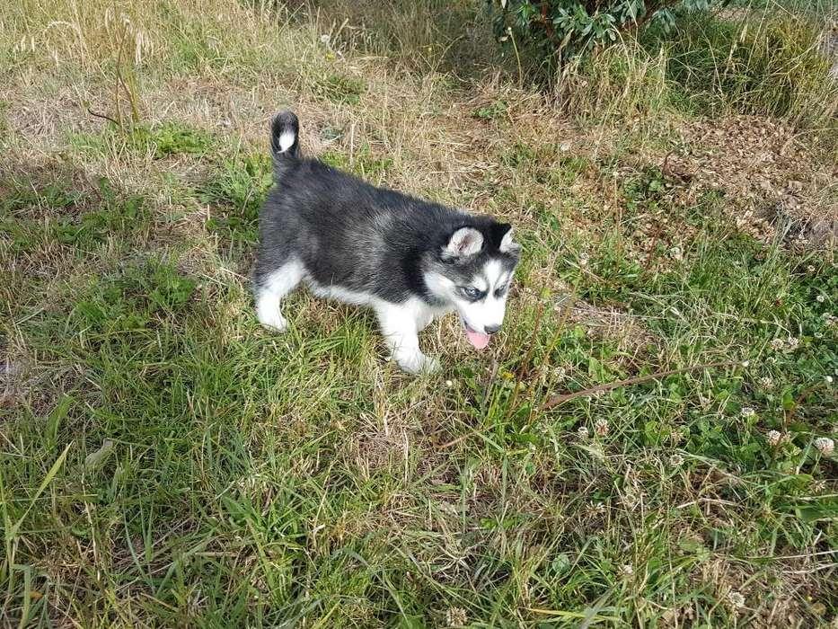 Cachorras Husky