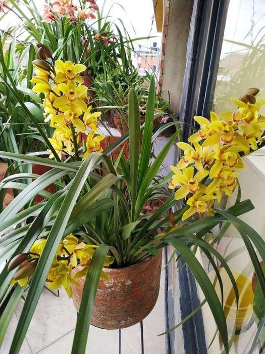 Orquídeas Invidios
