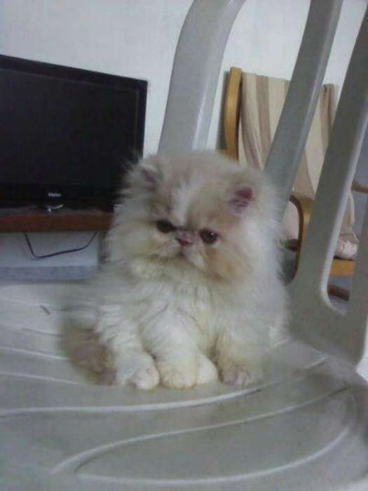 Gato Persa 14