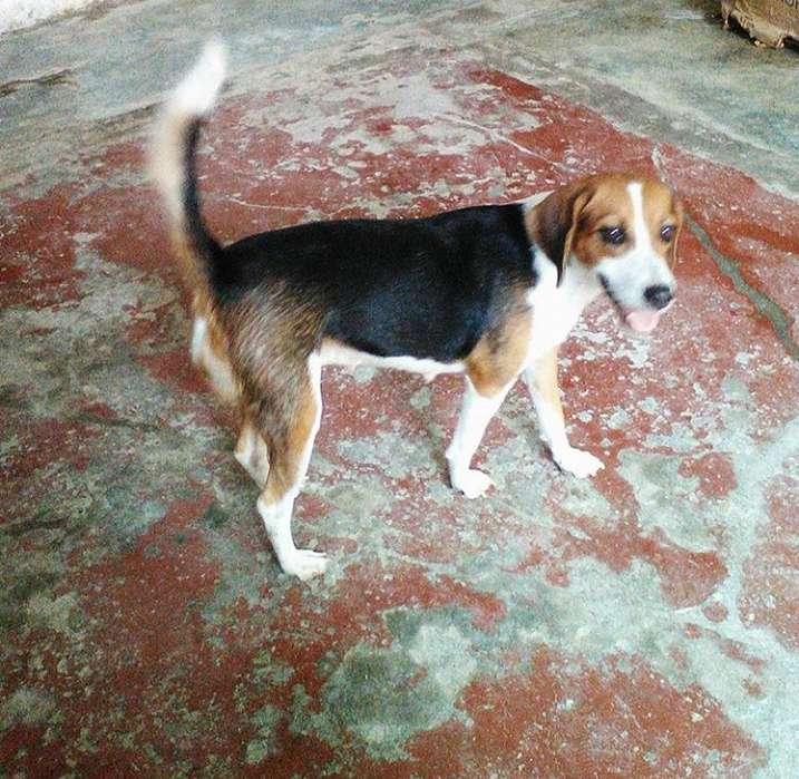 <strong>perra</strong> Beagle para la montada
