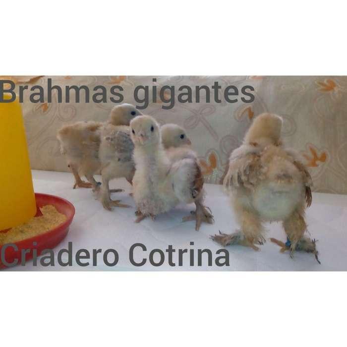 Brahmas gigantes pollos bbs