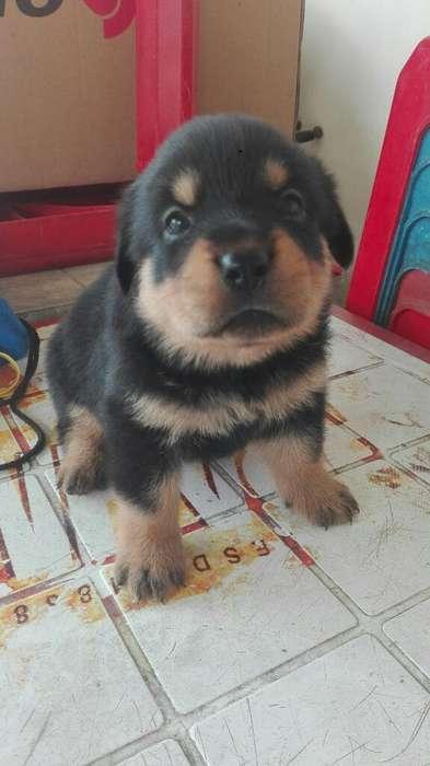 <strong>cachorro</strong>s Rotwailer Hermosos