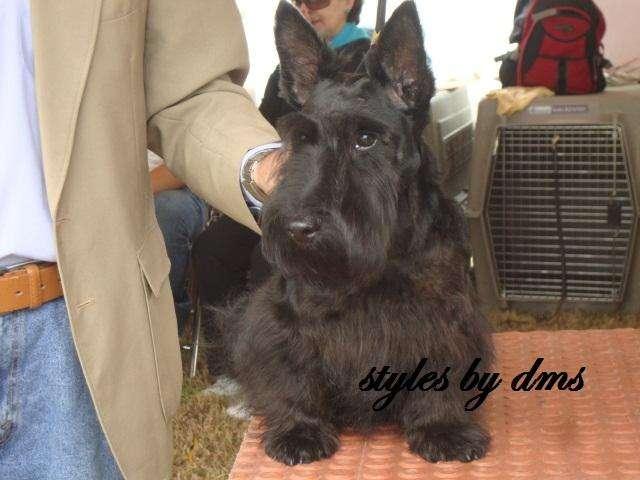 Scottish, Scotie Terrier, Ejemplares Para Cruce