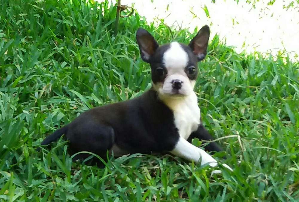 Hermosa Hembrita Boston Terrier