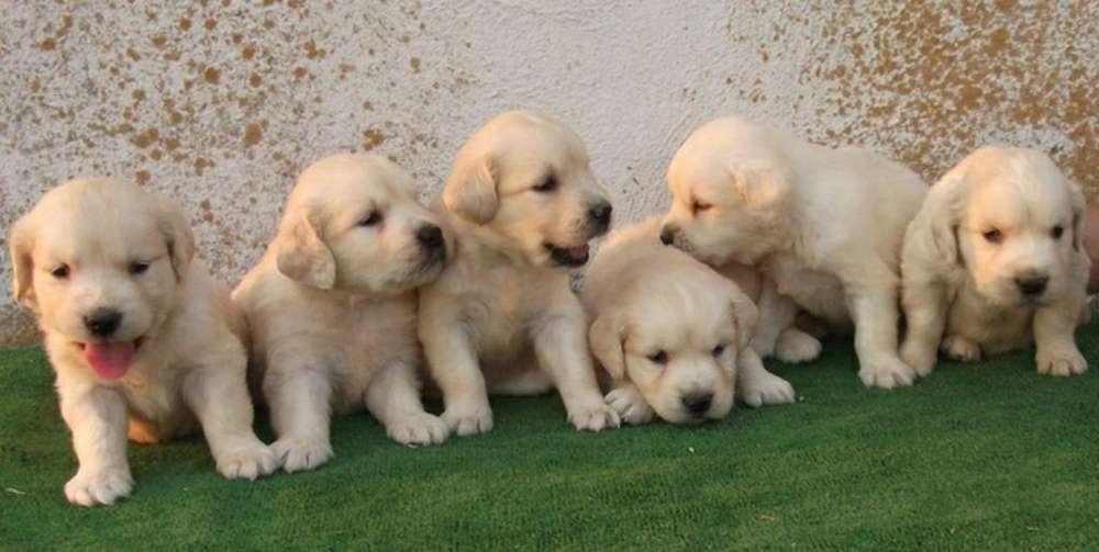 Golden Cachorros Divinos