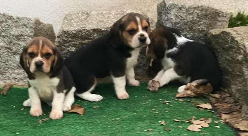 <strong>beagle</strong>s Muy Tamaño Pequeño
