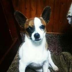 Busco Novia Chihuahua Mini