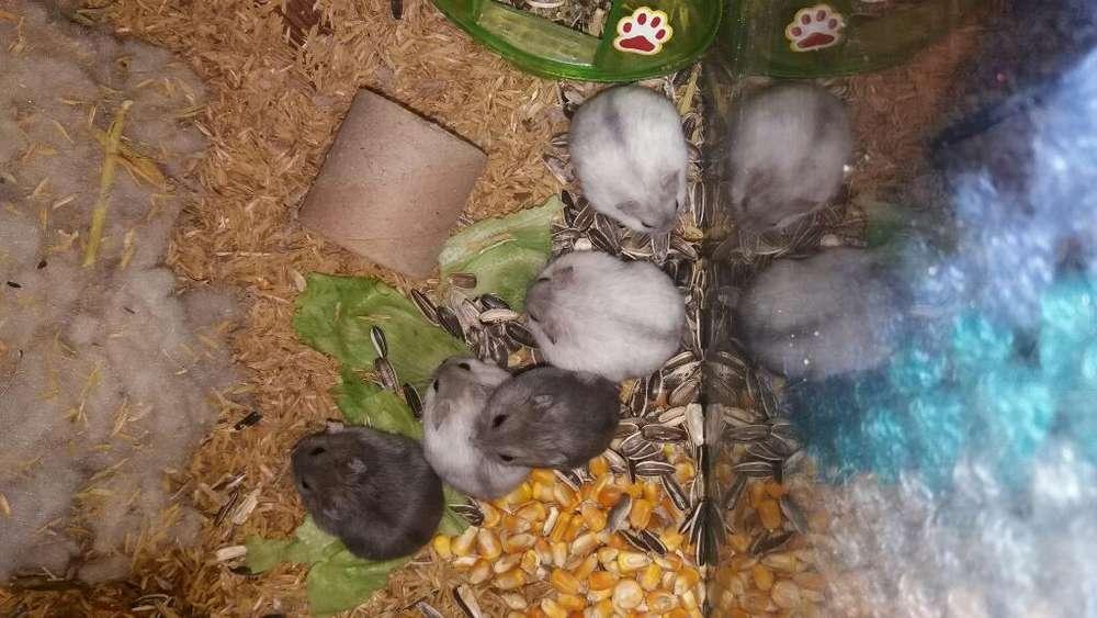 Vendo Hamster Rusos