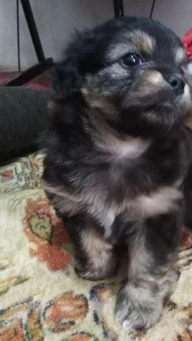 <strong>cachorro</strong> Poodel con Chitzu Y 971681108