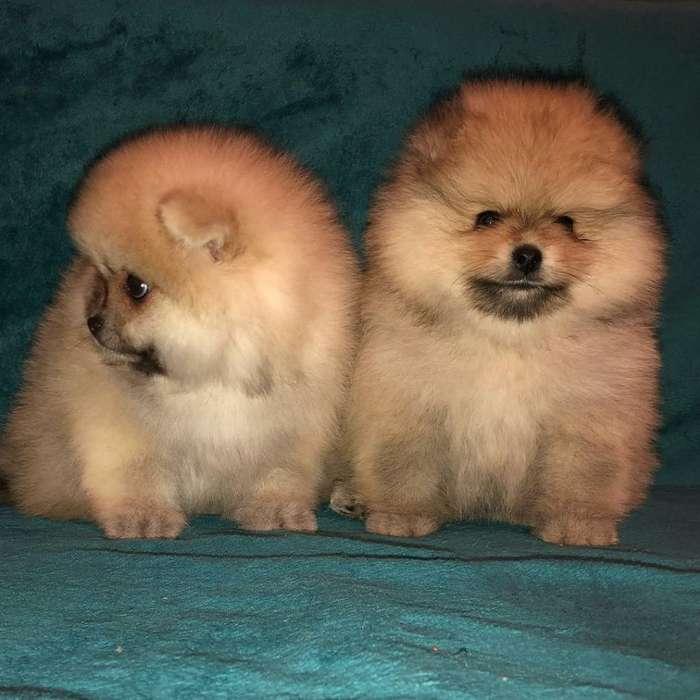 Cachorros Pomeranias