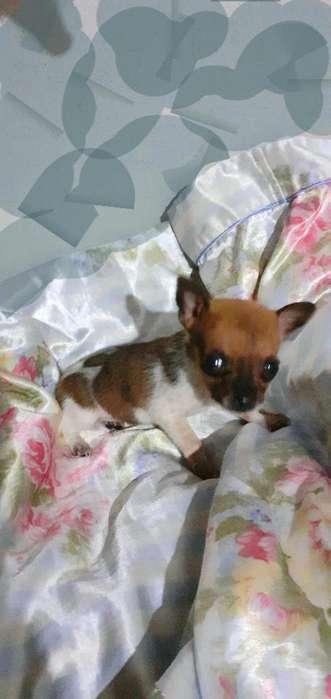 Cachorrita Chihuahua Miniatura