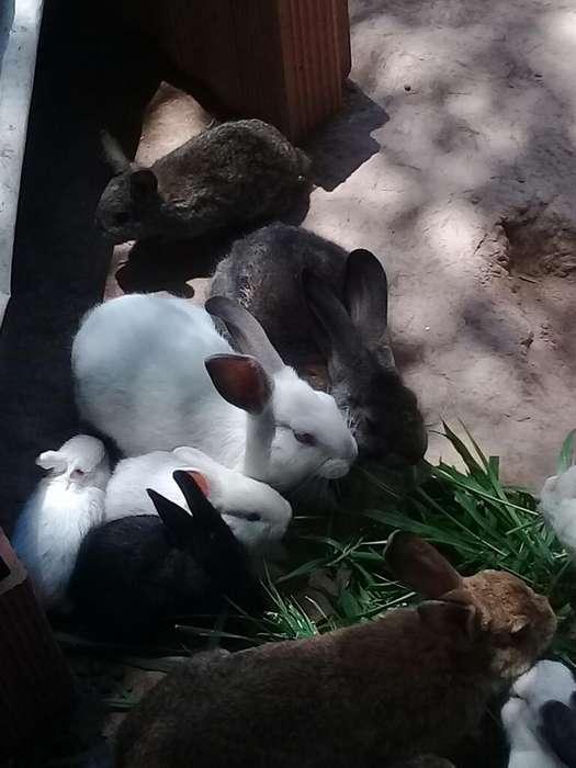 Vendo Conejos Medianos Y Bebes