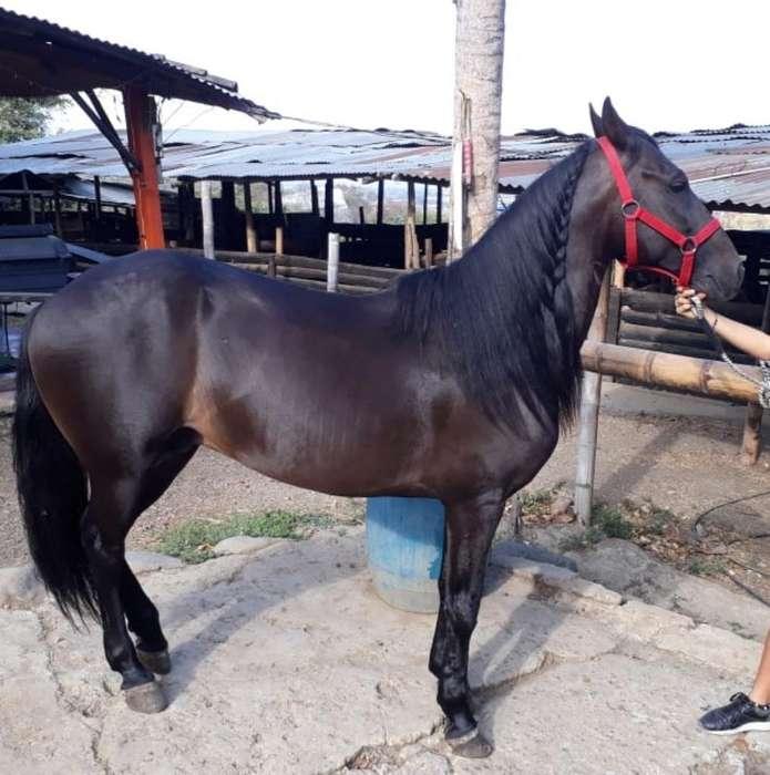 Vendo <strong>caballo</strong> Paso Fino