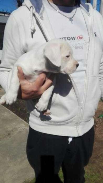 Cachorros de Dogo Argentino