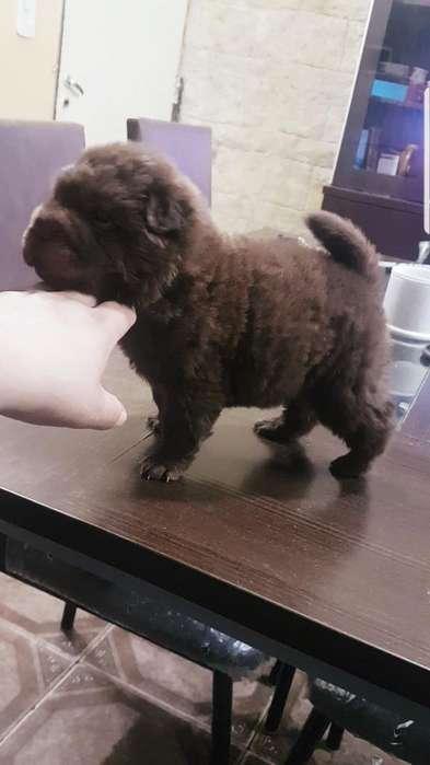 Cachorro Machito Sharpei Pelo de Oso