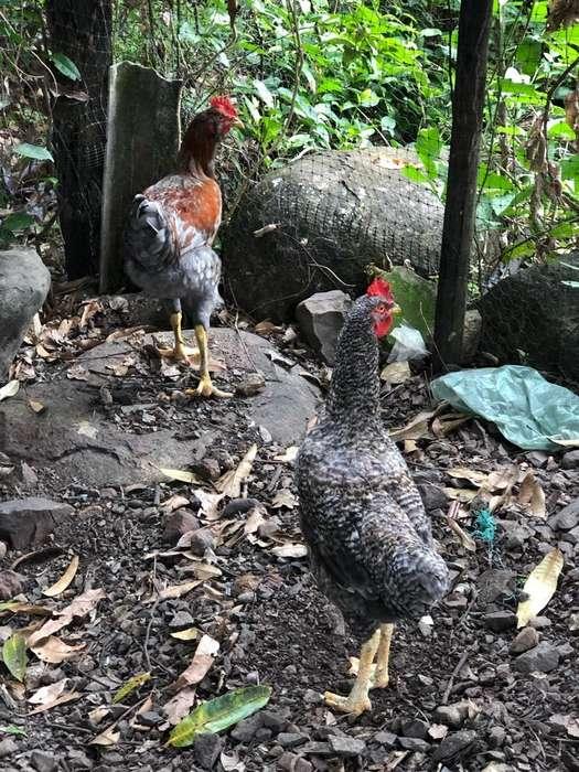 Vendo <strong>pollos</strong> Criollos