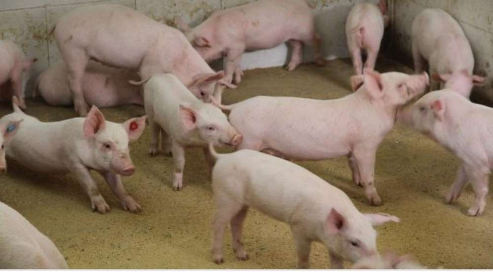 Lechones Y Cerdos de Engordes