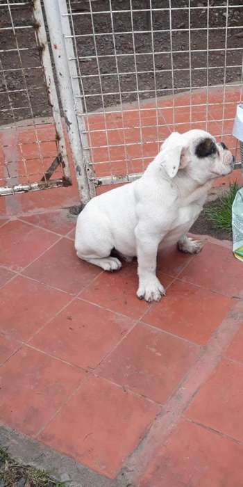 Cachorro Bulldog Ingles Macho