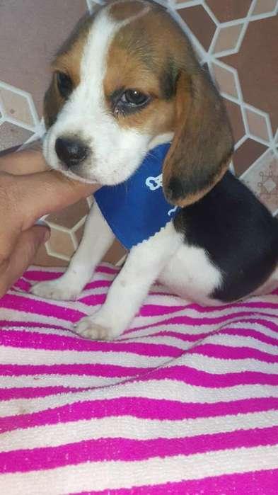 <strong>beagle</strong> Enano Internacional