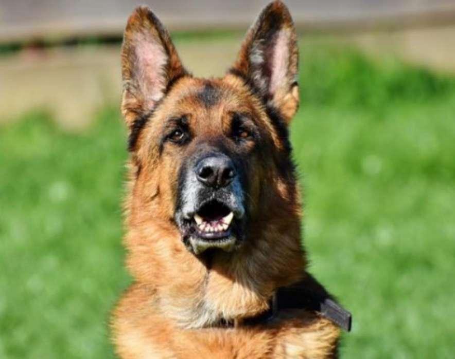 <strong>adiestramiento</strong> Canino de Razas Grandes