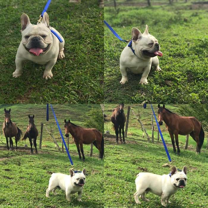 Bulldog Frances para Monta Linearegistro