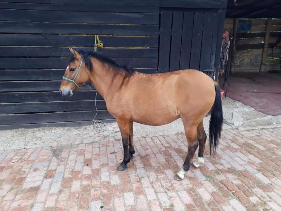 Semi Pony Hembra Amansada !