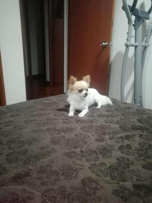 Chihuahua Pelo Largo para Monta