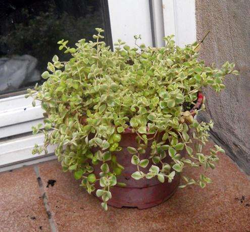 Crassula expansa fragilis marginalis variegata boll 13