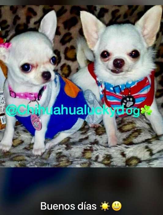 Chihuahuas Micro Vip