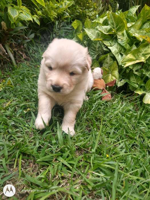 Hermosa Cachorra Golden Retriever