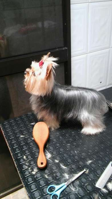 Yorkshire <strong>terrier</strong> Disponible para Monta
