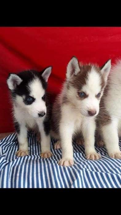 Preciosos Huskys Siberianos Disponibles