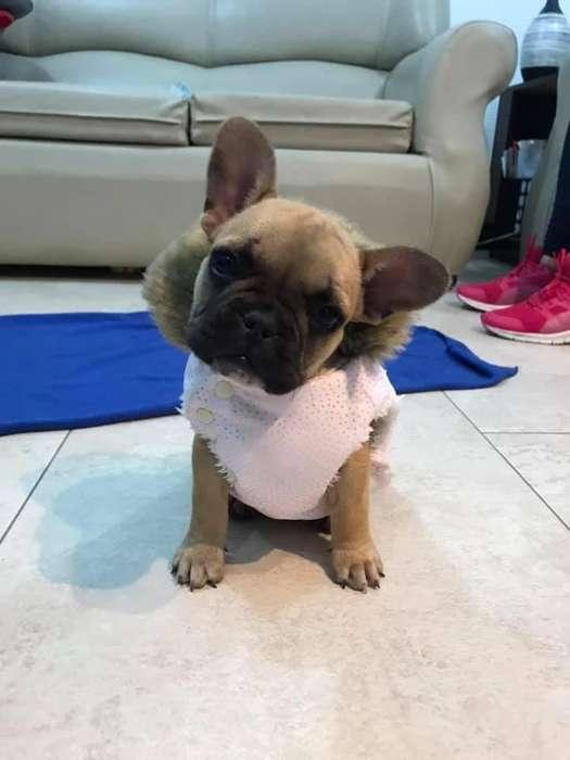 Bulldog Frances - cachorra
