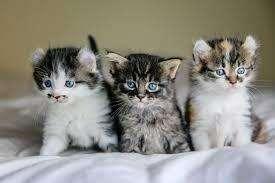 gato maniee coon bebe criadero gatos y perros
