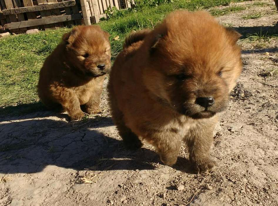 <strong>cachorro</strong>s Chow Chow
