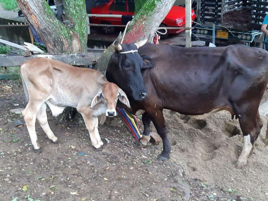 Vaca Parida con Cria Macho