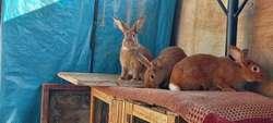 Conejos Gigantes