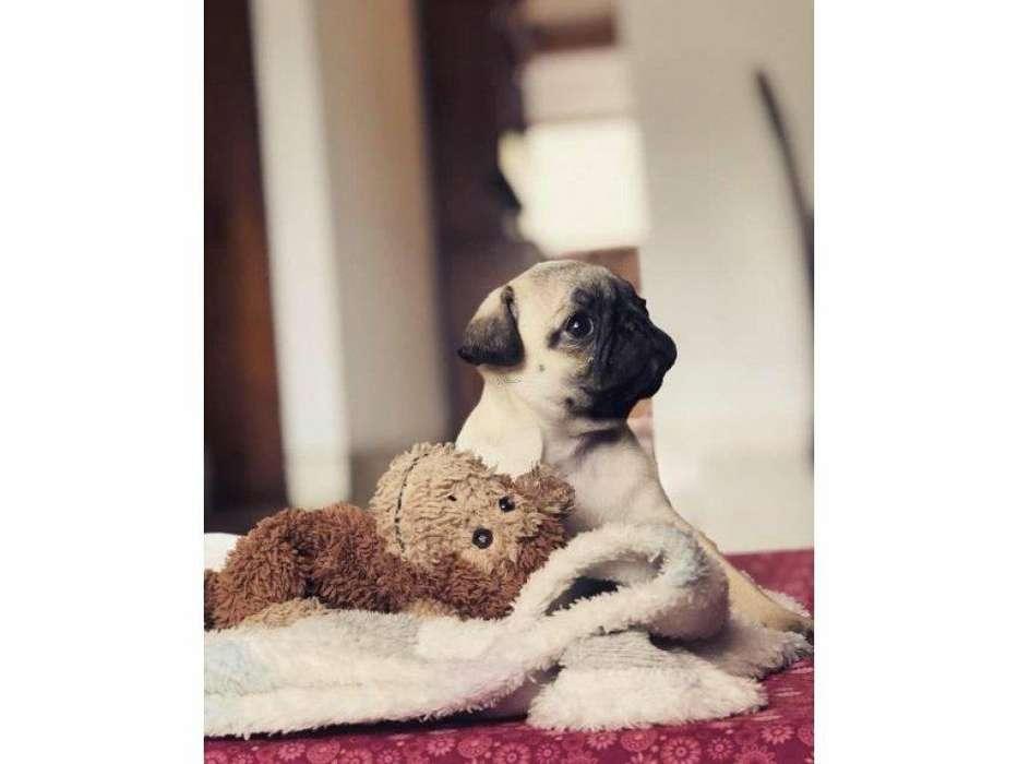 Cachorra Pug