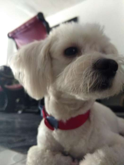French Poodle Busca Novia.