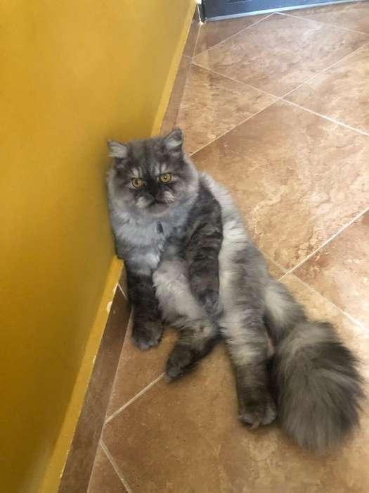 Lindo Gato Persa para Monta